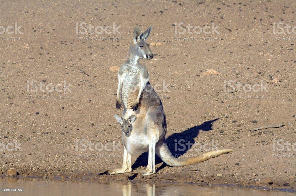red kangaroo drinking with joey stock photo