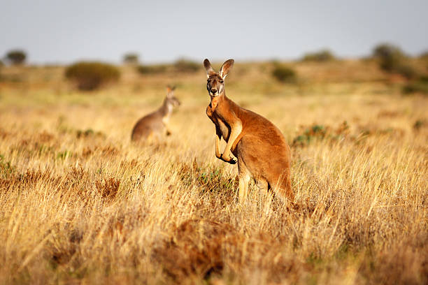 red kangaroo in grasslands in the australian outback - bush stockfoto's en -beelden