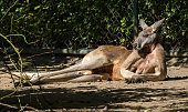 Red kangaroo, Macropus rufus in a german zoo