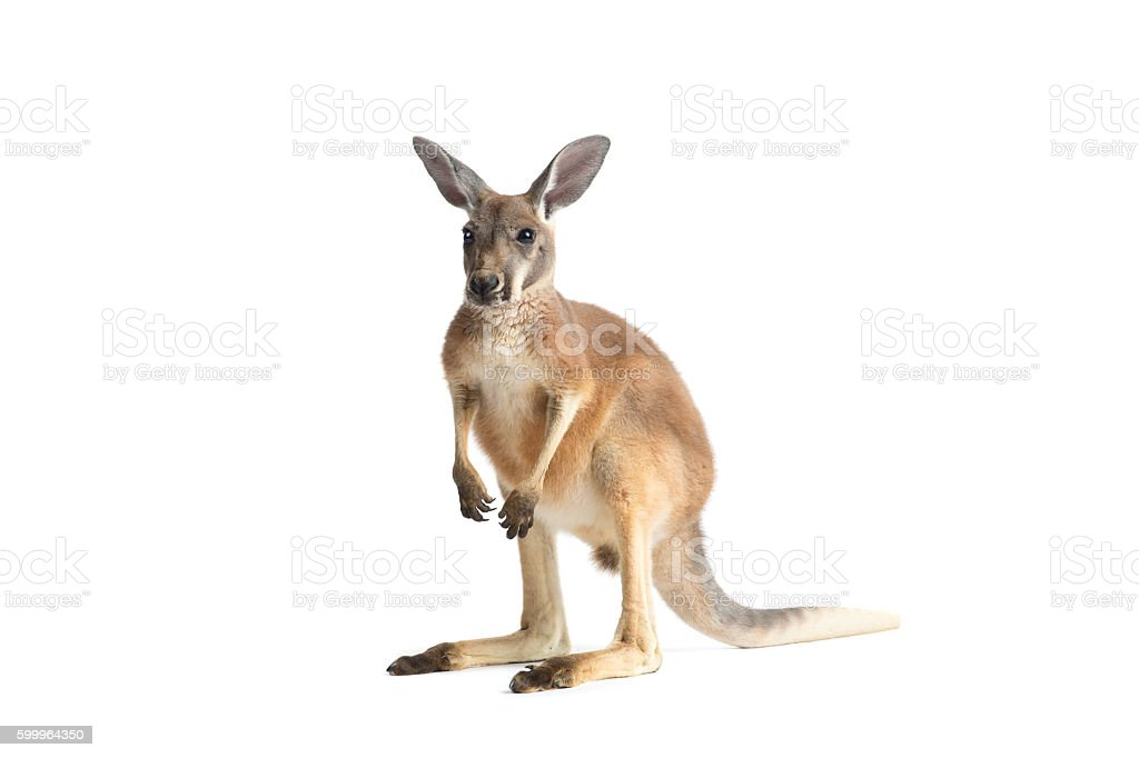 Red Kangaroo on White royalty-free stock photo