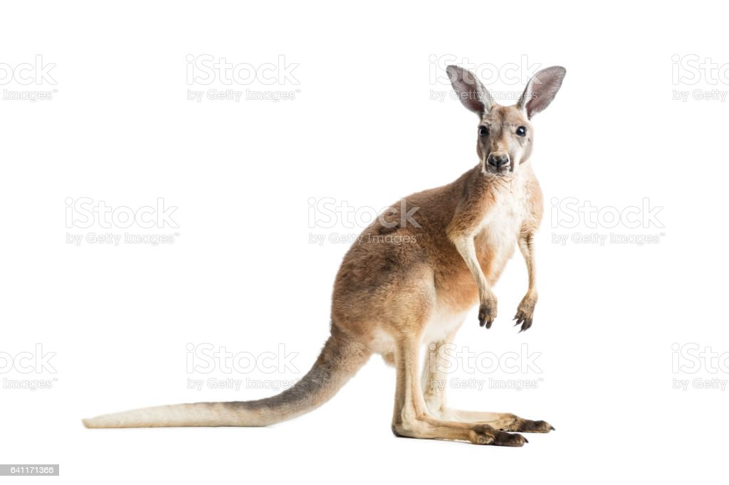 Red Kangaroo on White stock photo