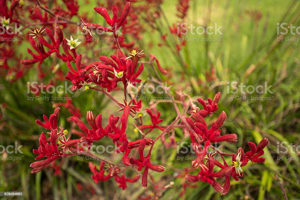 Red kangaroo paw flowers stock photo
