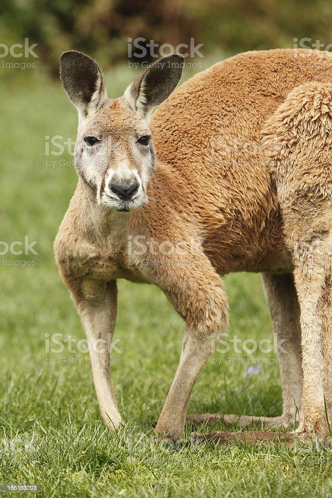 Большой рыжий кенгуру — стоковые фотографии и другие картинки ... 6cb114b4c16d6