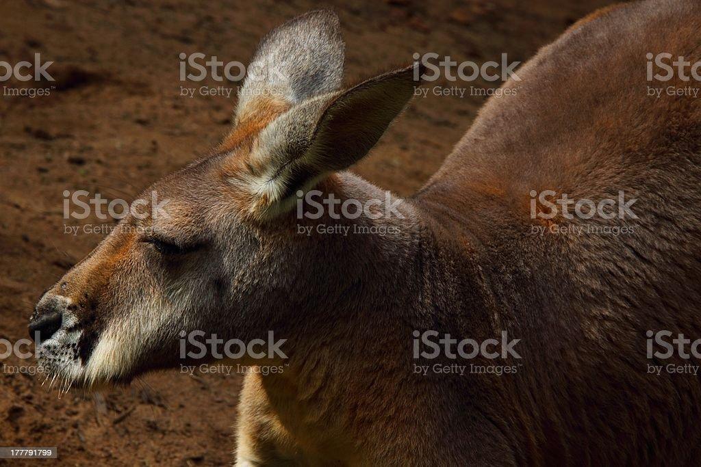 red kangaroo royalty-free stock photo