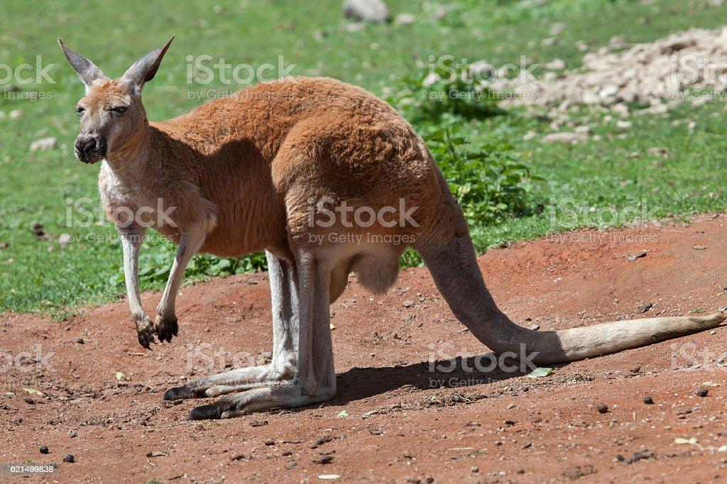 Red kangaroo (Macropus rufus). photo libre de droits