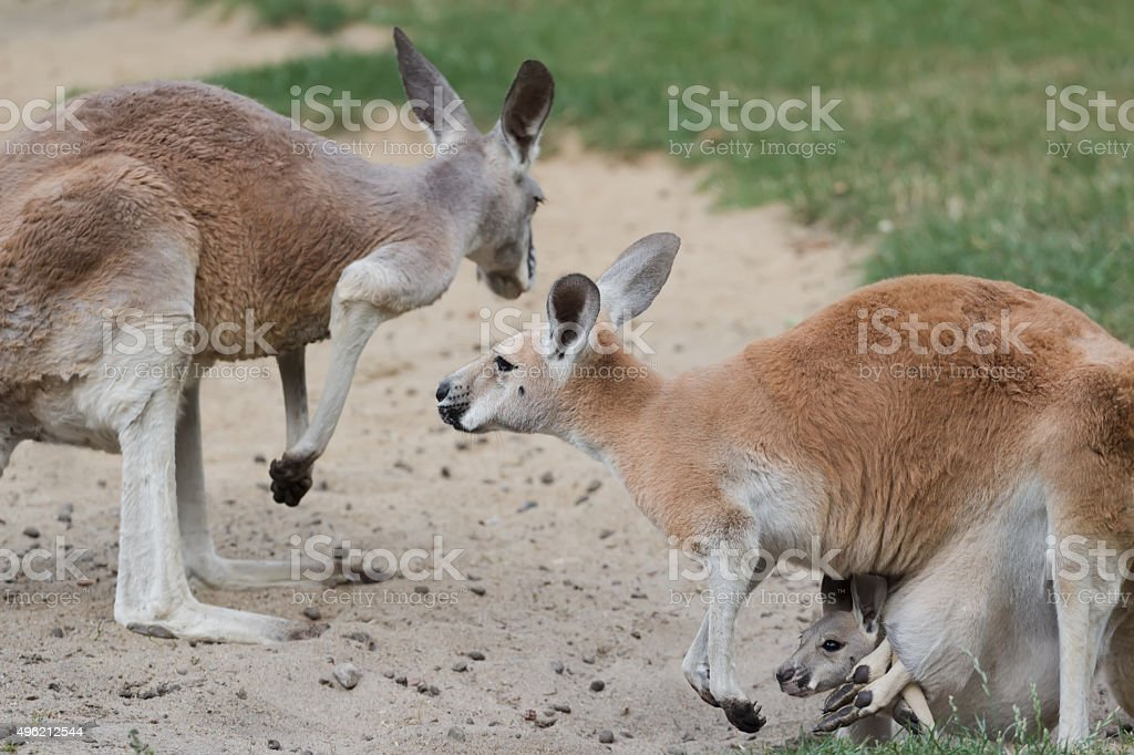 Red kangaroo with joey  baby kangaroo carried in female pouch stock photo