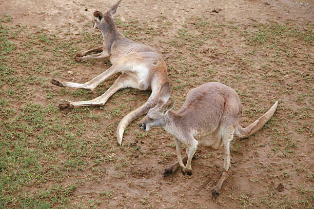 Red kangaroos at rest in summer heat