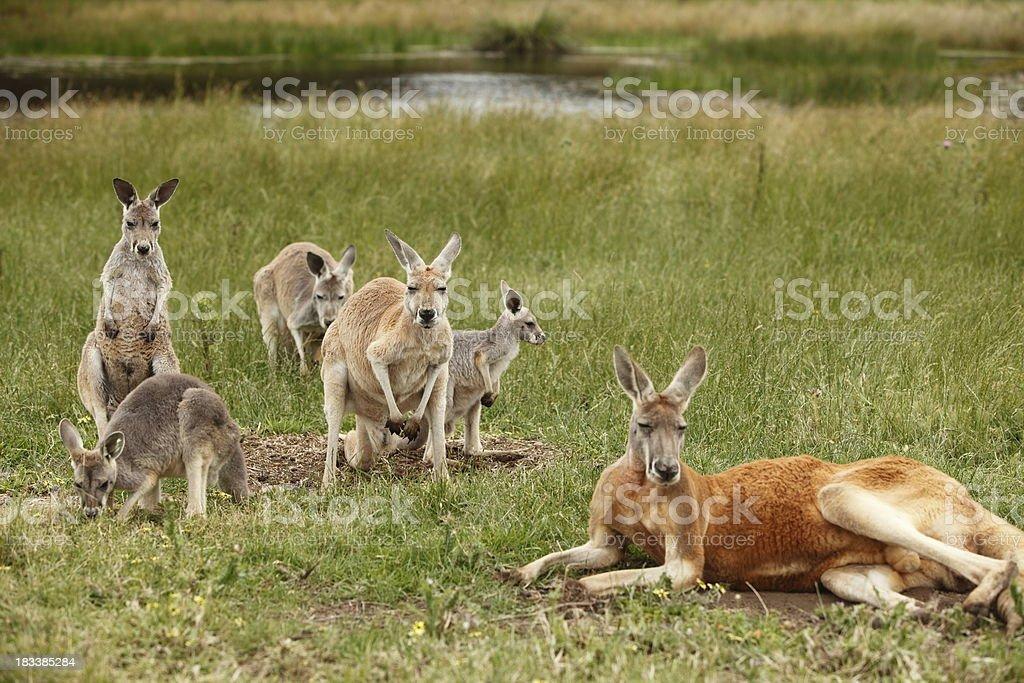 Red Kangaroos royalty-free stock photo
