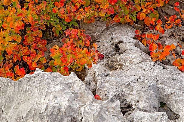 red karsian smoketree on the rocks - perückenstrauch stock-fotos und bilder