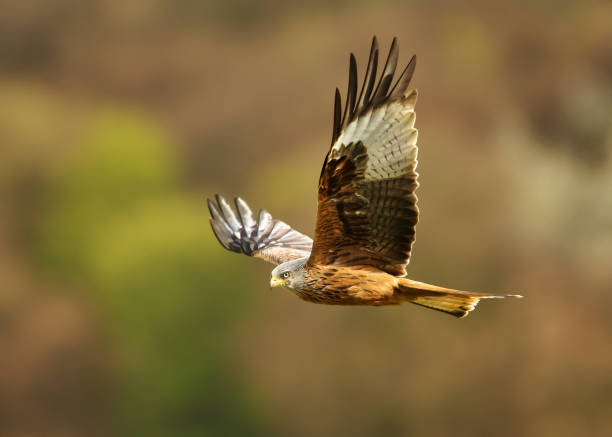 red kite flying over farmland fields in summer - falcon bird stock photos and pictures