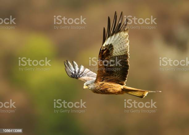 Photo of Red kite flying over farmland fields in summer