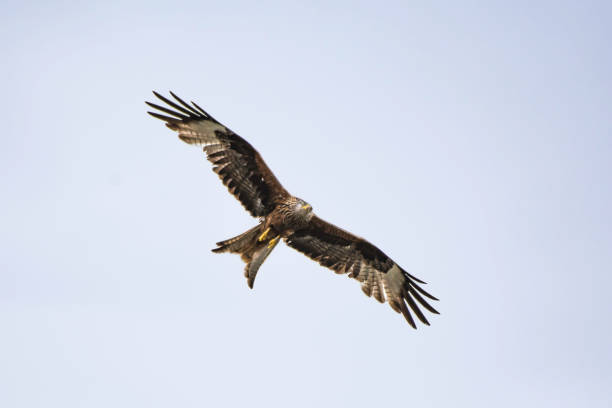 Red kite flying over head. stock photo