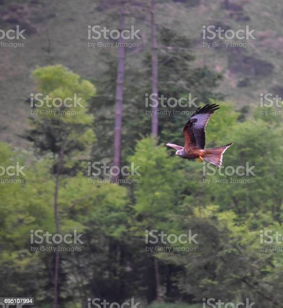 Photo of Red Kite flying through landscape