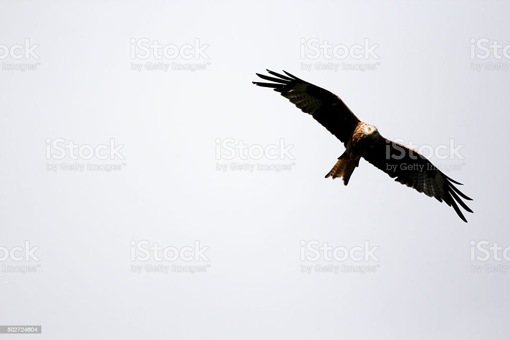 Red Kite in Carmarthenshire, Wales stock photo