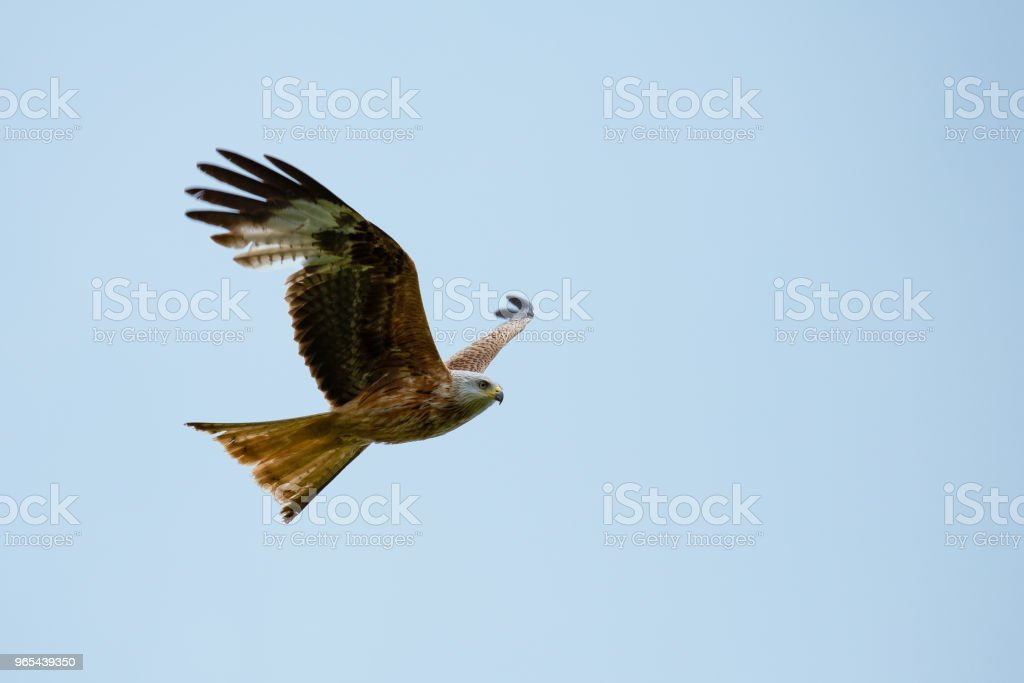 Red Kite (Milvus milvus) in flight on a warm summers day royalty-free stock photo