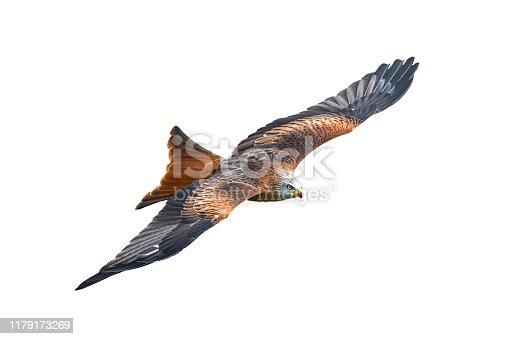 istock Red Kite (Milvus milvus) 1179173269