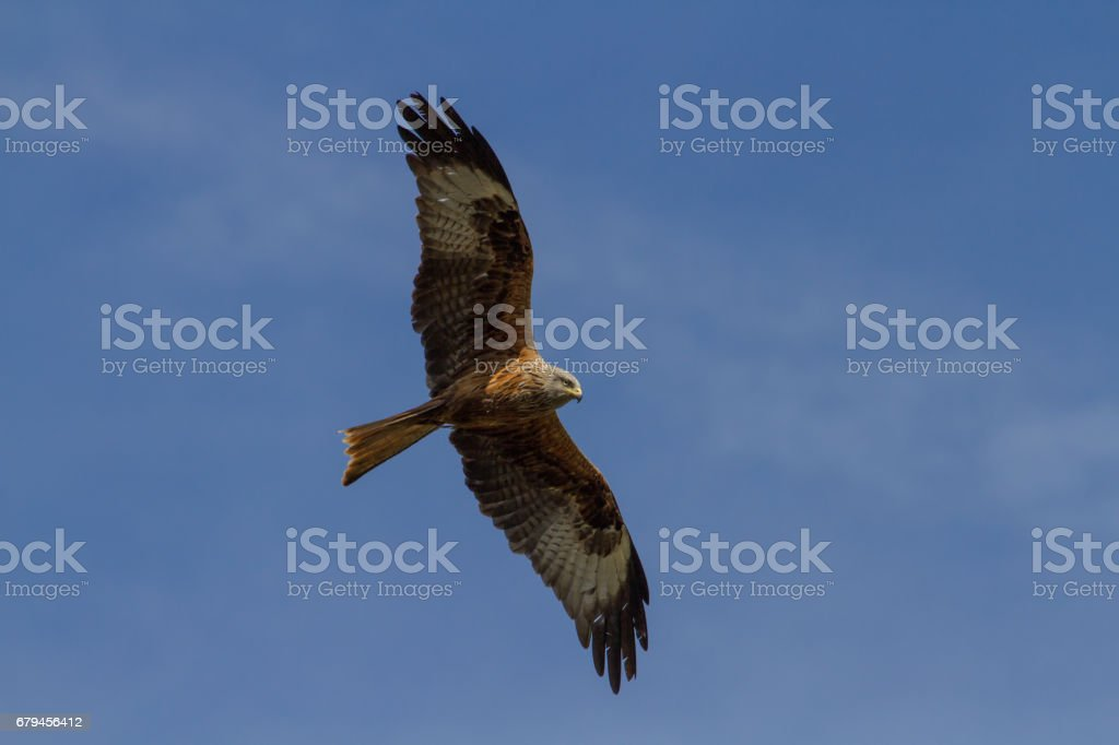 Red Kite (Milvus milvus) soaring in blue sky royalty-free stock photo