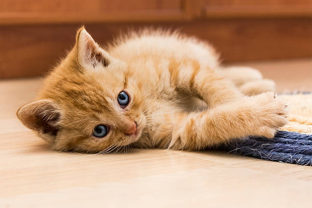 Red kitten ii picture id524581937?b=1&k=6&m=524581937&s=612x612&w=0&h=2vdnzjknfvpjxjlrjy6xpzhg8s3ka2hdov315hmfpam=