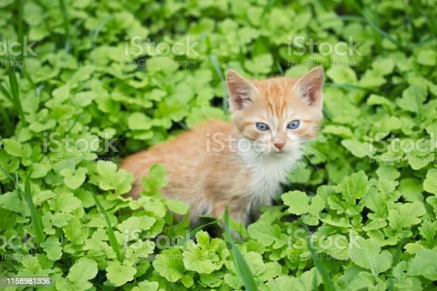 Red kitten in green grass picture id1158981336?b=1&k=6&m=1158981336&s=612x612&h=qbqbywgnw8cbhyxpmcqpzcvjnyihfkod1 5tqdmwm2q=