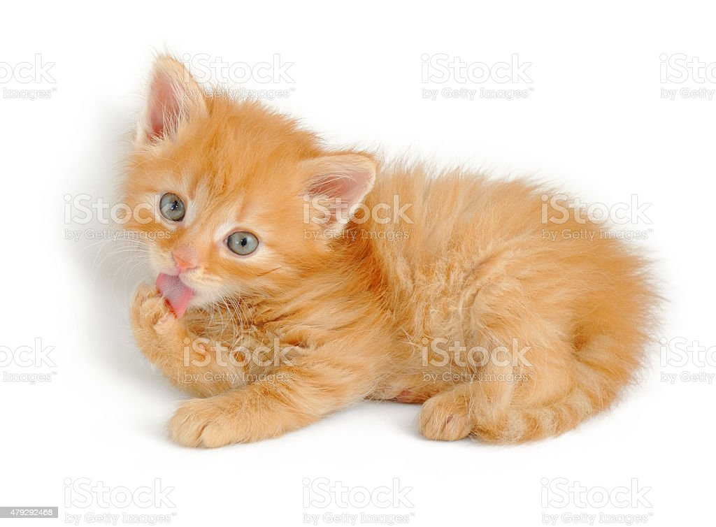 red kitten licking his paw stock photo