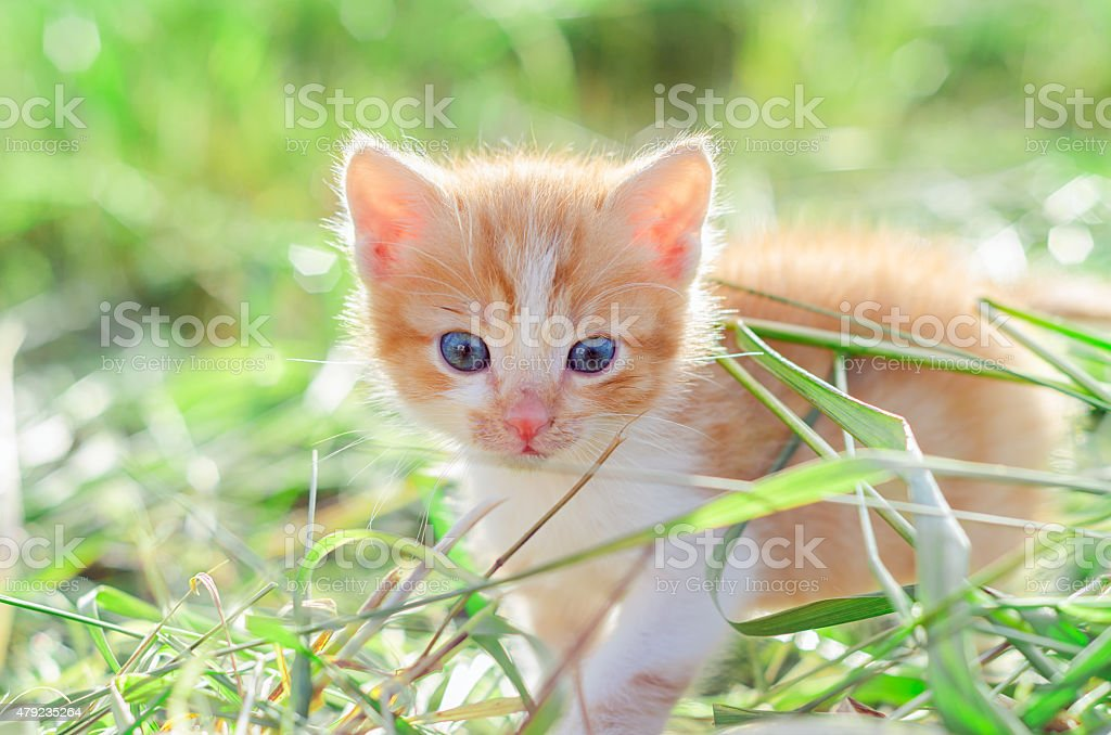 Petit chaton rouge sur gazon vert - Photo