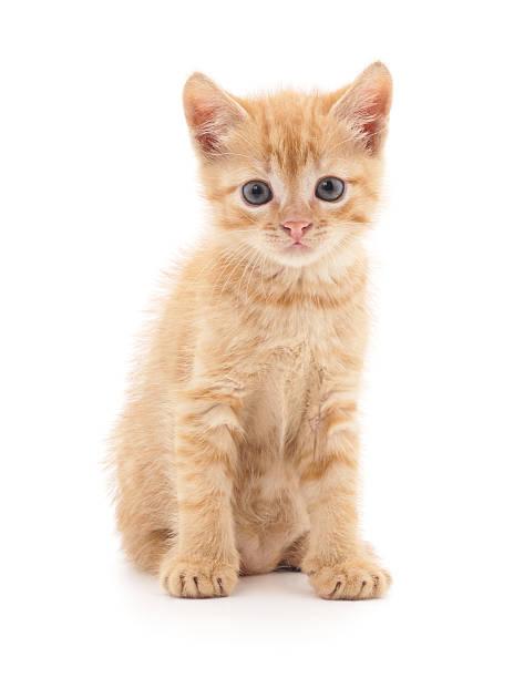 Red kitten picture id543454902?b=1&k=6&m=543454902&s=612x612&w=0&h=tnq9brrkqkhlxddvfb84erj60wrsdhshfsbh7ilvyca=