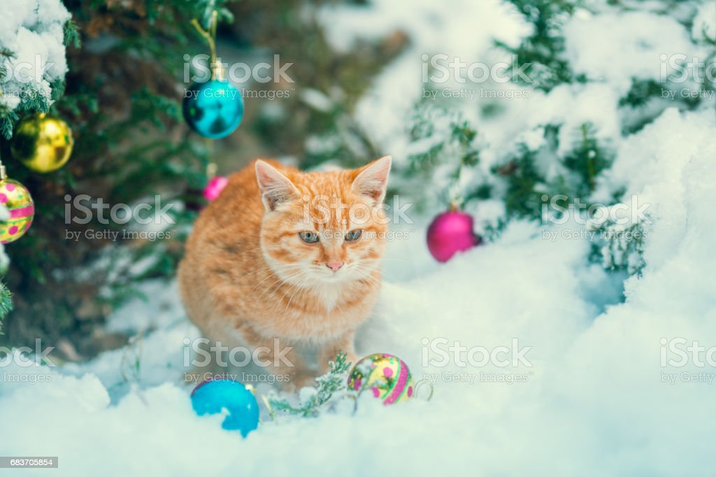 Red kitten sitting outdoor in snow near fir tree with Christmas decoration. stock photo