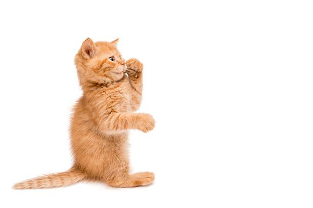 Red kitten standing playing picture id457416055?b=1&k=6&m=457416055&s=612x612&w=0&h=4jl0dnrlycdlfkqclz4o2acwk3  2l3laqapfn1 yni=