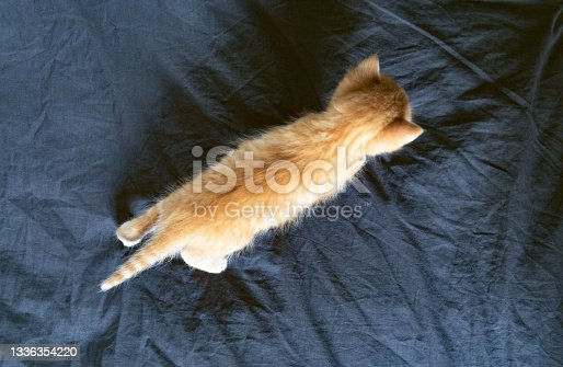 istock Red kitten walks through the bed with a black sheet. Top View 1336354220