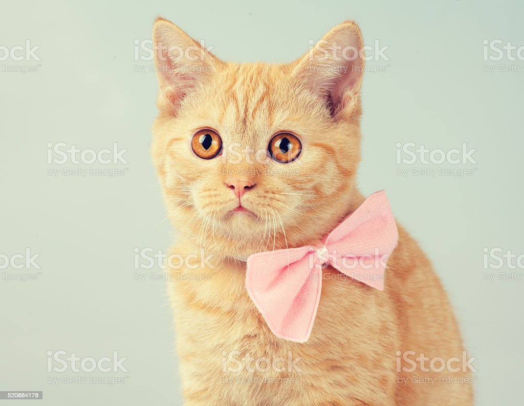 Red kitten wearing bow tie stock photo