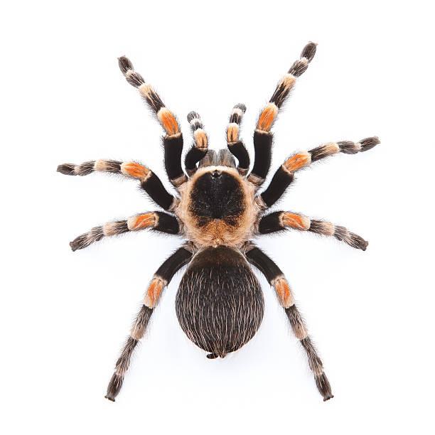 rouge tarantule du genou - araignée photos et images de collection