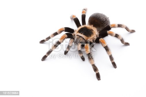 Mexican red knee tarantula isolated on white