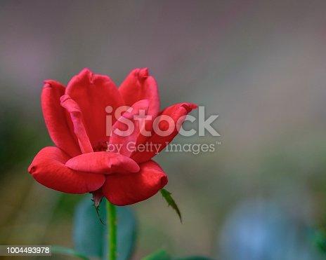 Red Knockout Rose Bloom Background