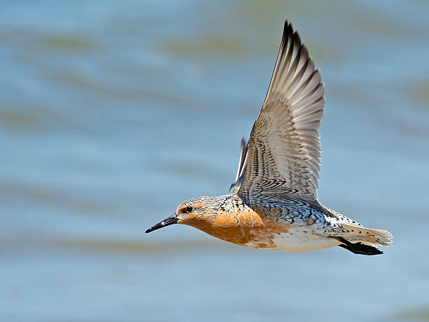 Red Knot in Flight stock photo