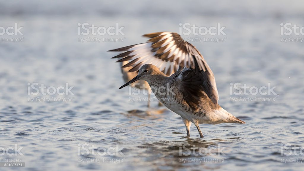 Red Knot Stretching Wings, San Carlos Bay, Bunche Beach Preserve stock photo