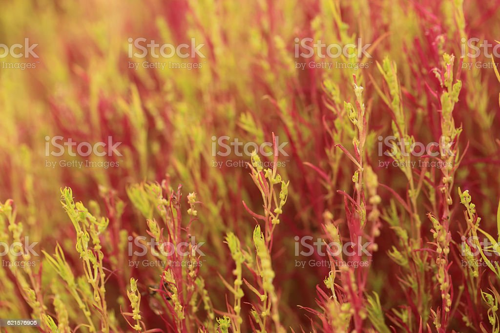 Red Kochia or Bassia scoparia selective focus by macro lens. photo libre de droits