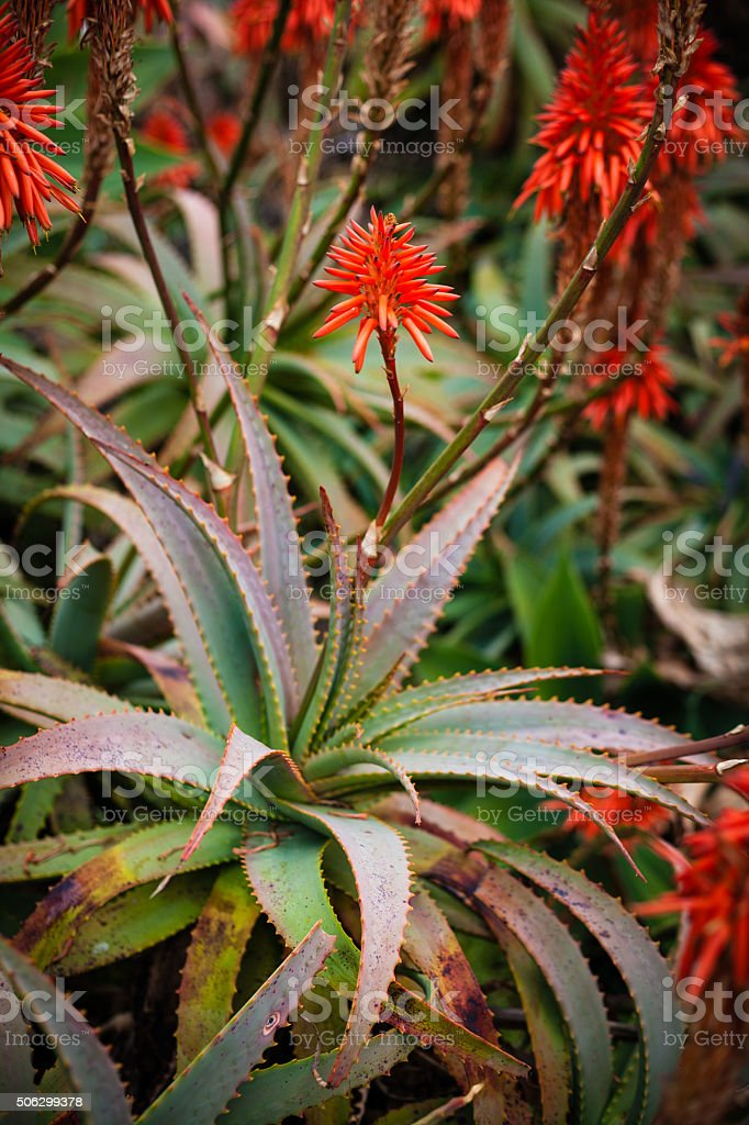 Red Krantz Aloe And Blooming Red Tubular Flowers stock photo