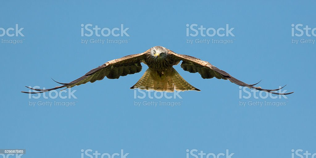 Red Kyte hovering on the updraft looking for food. stock photo
