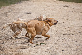 Red labrador retriever and a groodle - part golden retriever part poodle- playing in the sand near the river