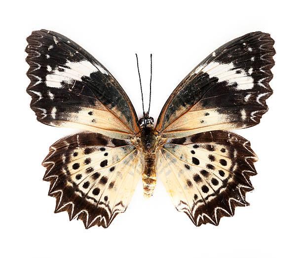Red lacewing butterfly picture id172917721?b=1&k=6&m=172917721&s=612x612&w=0&h=cu lqoyt4uhu7orhh 7ki hbda5li1jm8onx b7jifu=