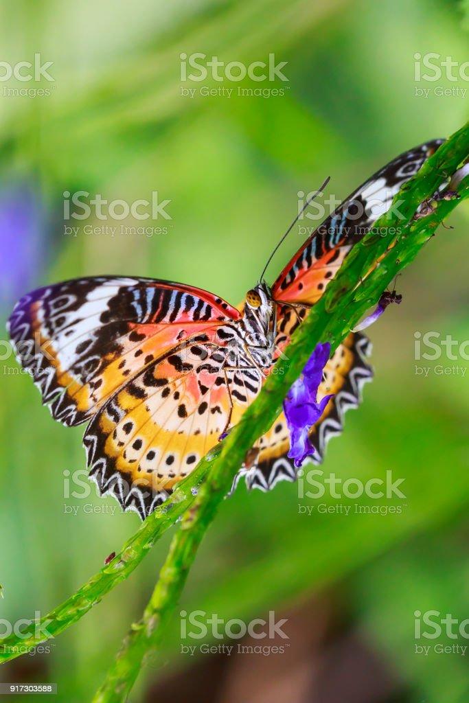 Tropischer Schmetterling Rot Florfliege Ruht In Der Futterung Nektar