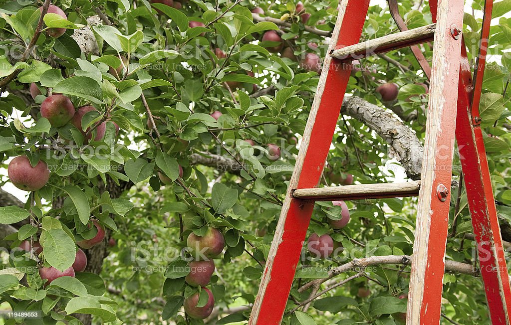 Red ladder in apple orchard royalty-free stock photo