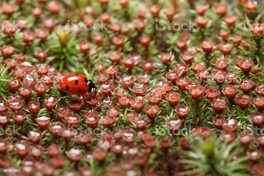 Red ladybird and blossom moss stock photo