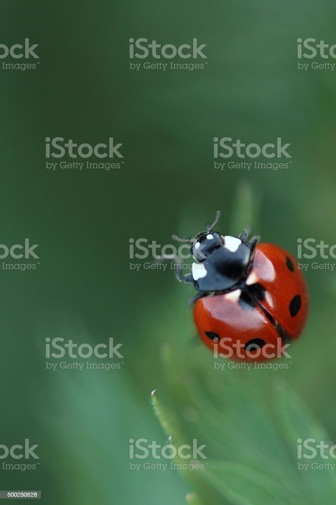 Red Ladybird on a grass stock photo