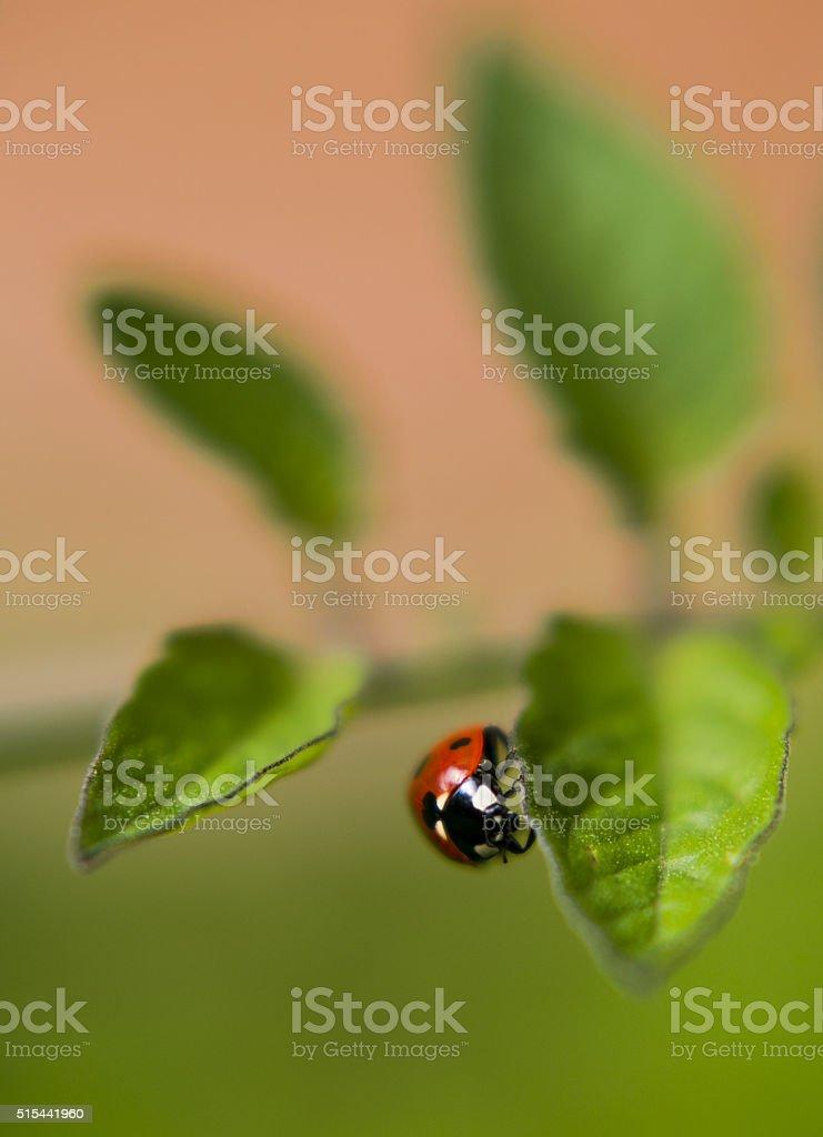 rot Marienkäfer-auf Grünes Blatt, Nahaufnahme verschwommene – Foto