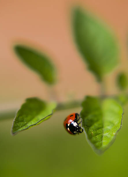 red ladybird on a green leaf, close-up blurred stock photo