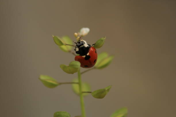 A red ladybird on top of the flower