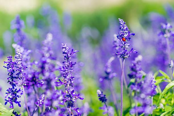 Red Marienkäfer-Sitzt auf wunderschönen Purpur und Violett Lavendel – Foto