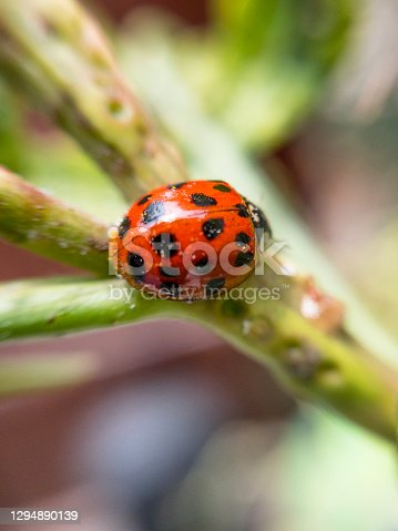 Red Ladybird With 19 Black Spots