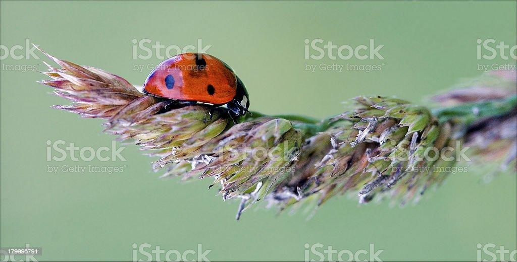 레드 무당벌레 coccinellidae anatis ocellata royalty-free 스톡 사진